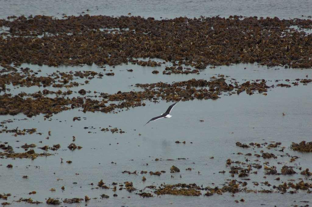 Kirkwall, Orkney Islands, Scotland, United Kingdom - seagull flying
