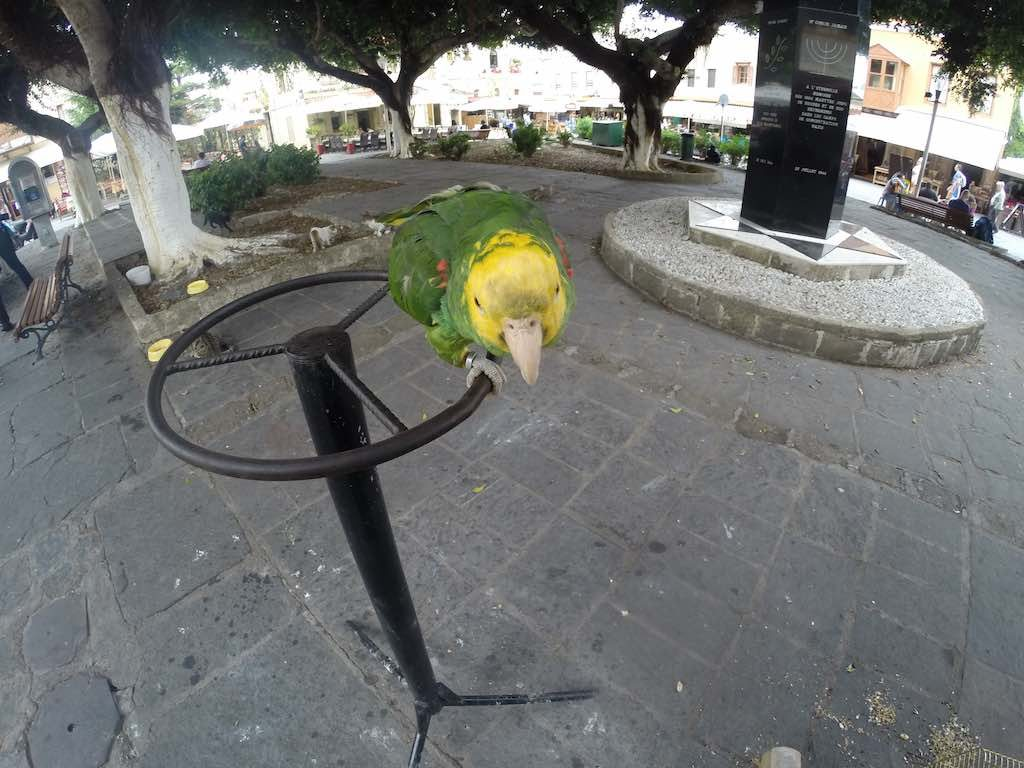Rhodes, Greece - Parakeet