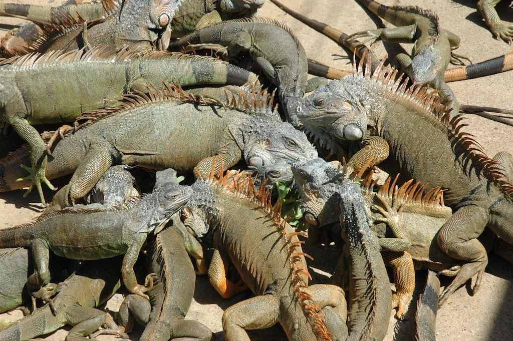 Roatan, Honduras - Iguanas