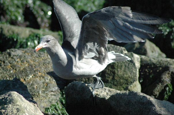 Sausalito, California USA - Seagull