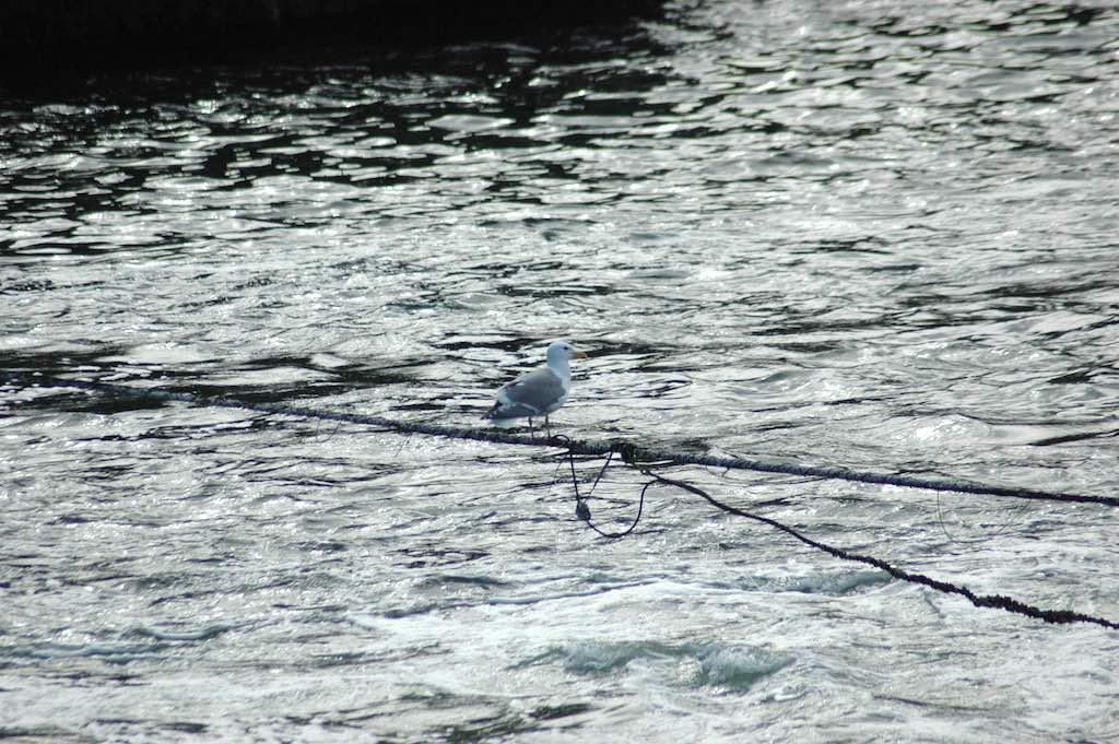 Hiram M. Chittenden Locks, Seattle, Washington USA - Seagull