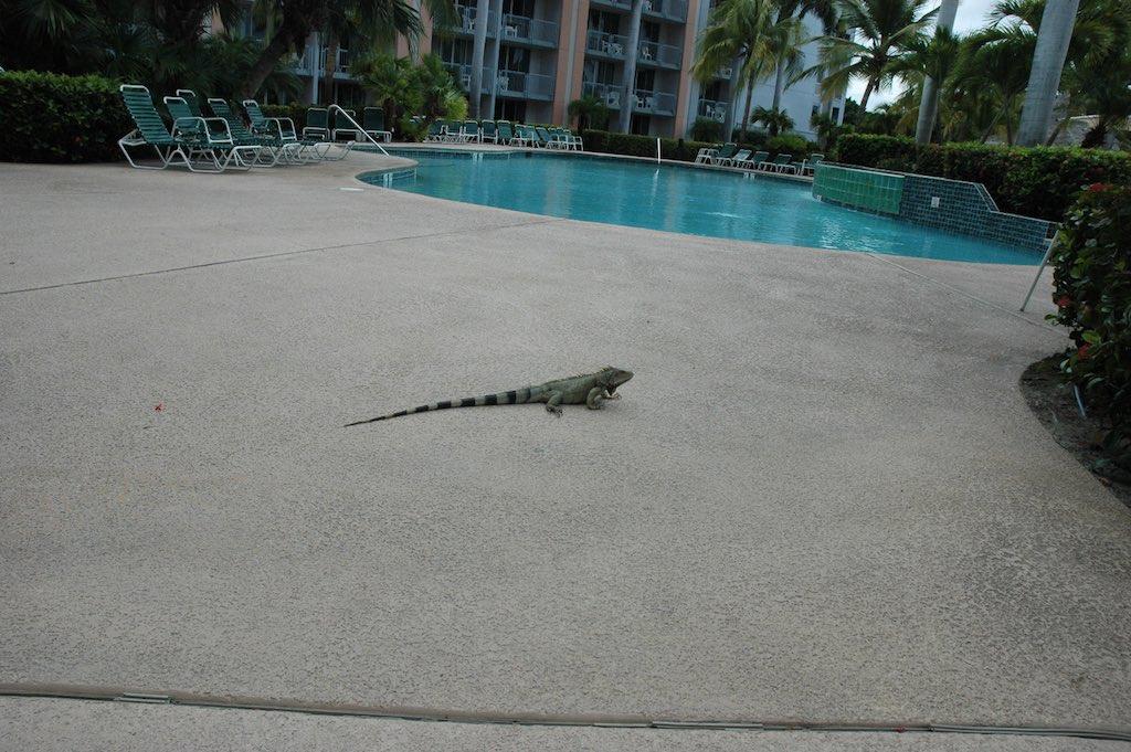 Aruba - lizard