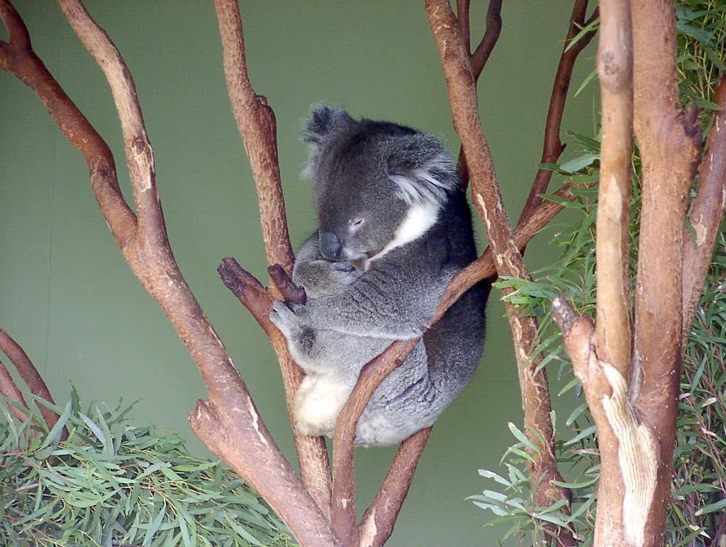 Hobart, Tasmania, Australia - Koala