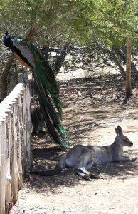 Hobart, Tasmania, Australia - Peacock and Kangaroo