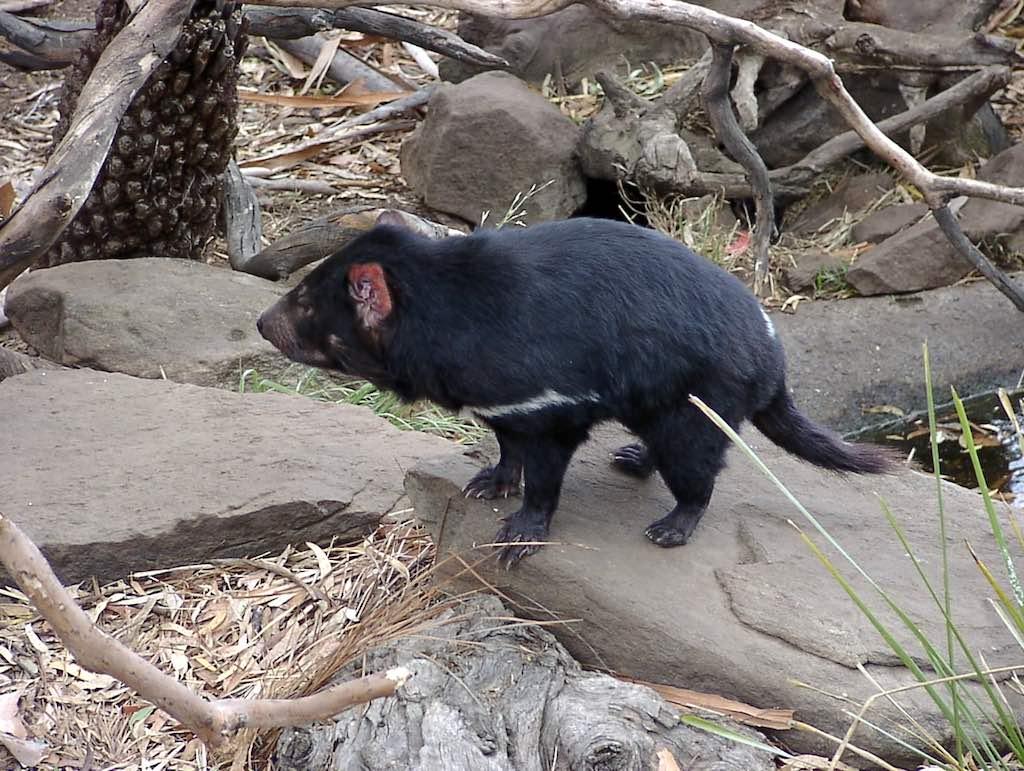 Hobart, Tasmania, Australia - Tasmanian Devil
