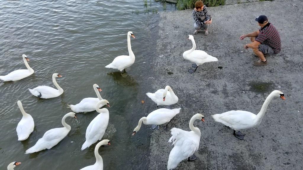 Limerick City, Ireland - Swans