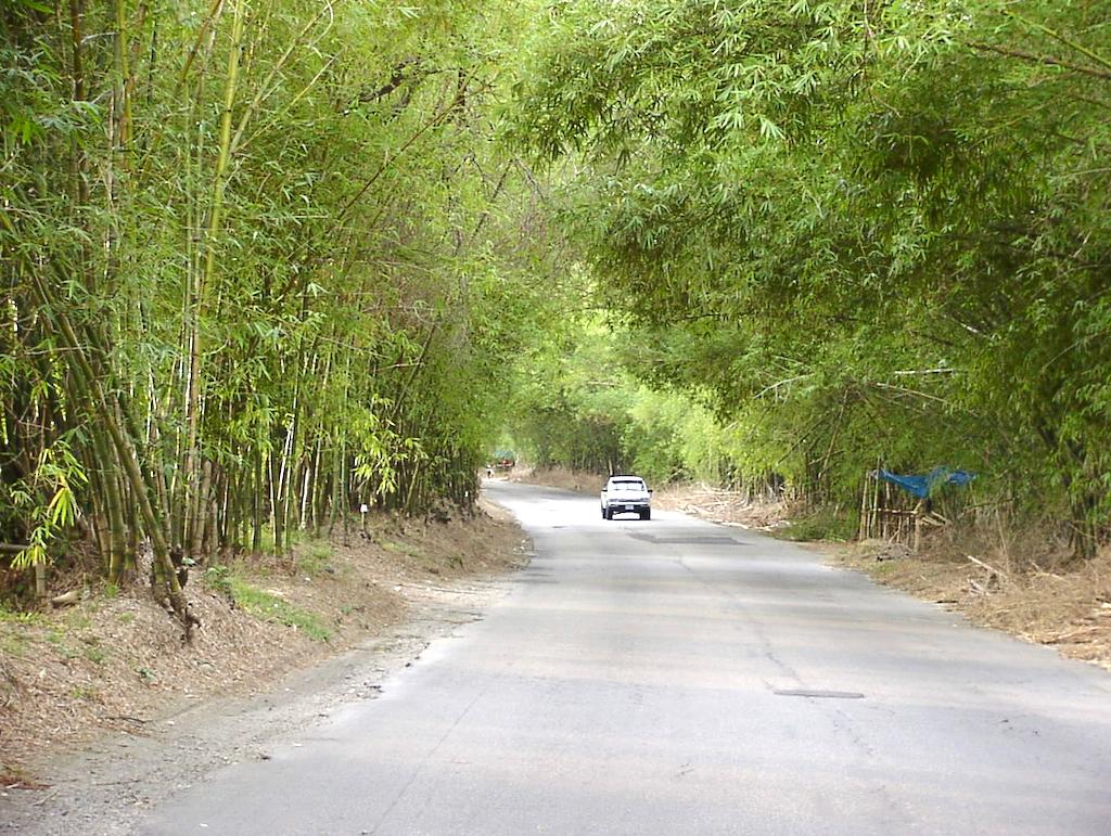 Holland Bamboo, St. Elizabeth, Jamaica