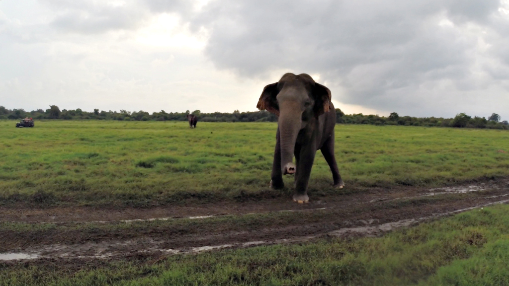 Kadulla National Park, Galoya, Sri Lanka - Elephant
