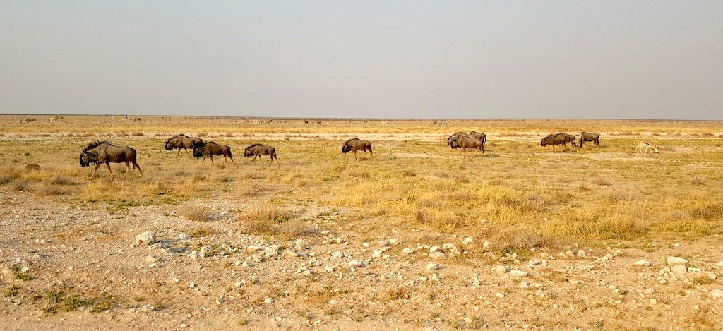 Etosha National Park, Namibia - Oryx grazing