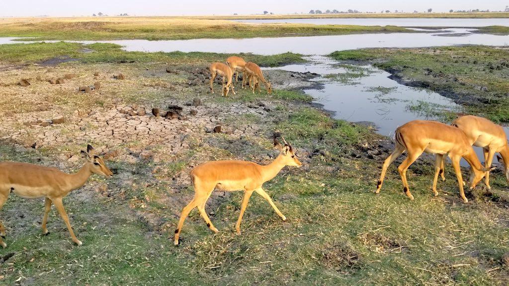 Chobe National Park, Botswana - Impalas