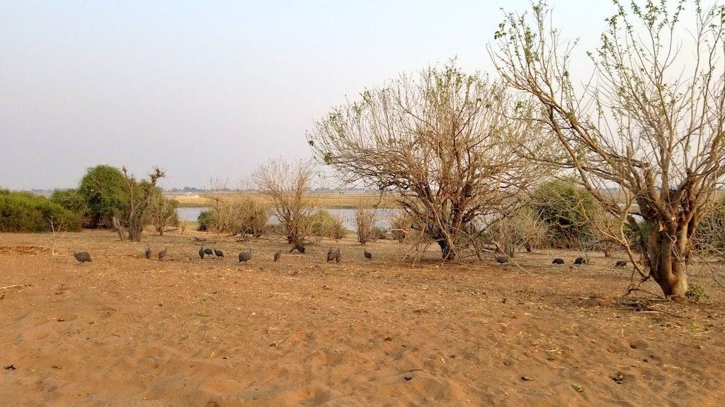 Chobe National Park, Botswana - Guinea hens