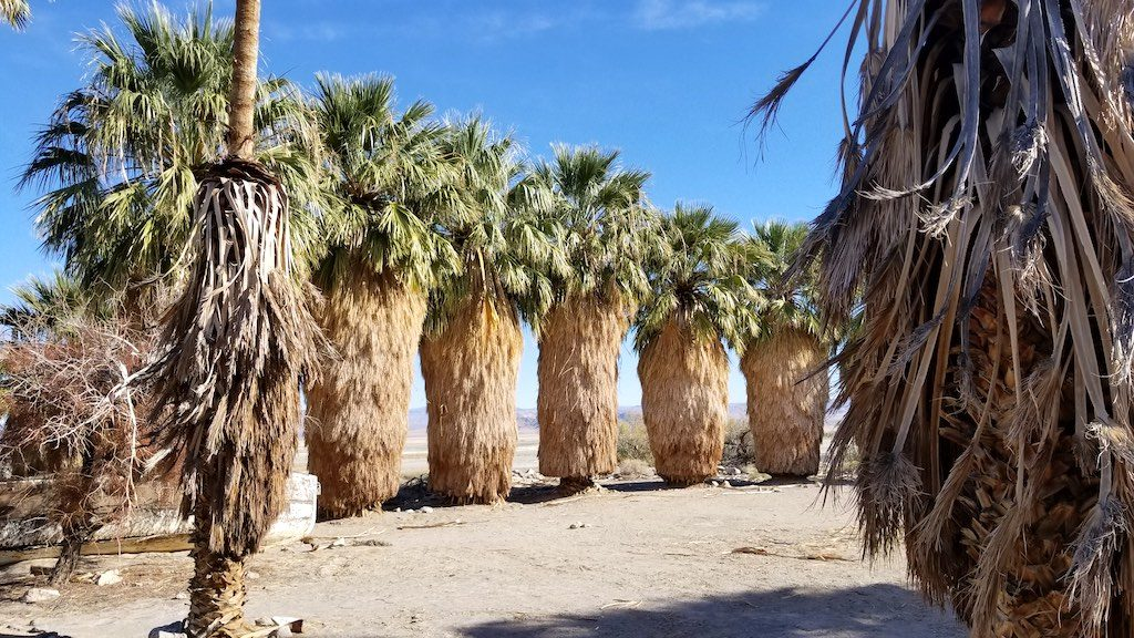 Zzyzx Road, California USA - Desert Studies Center - Palm Trees